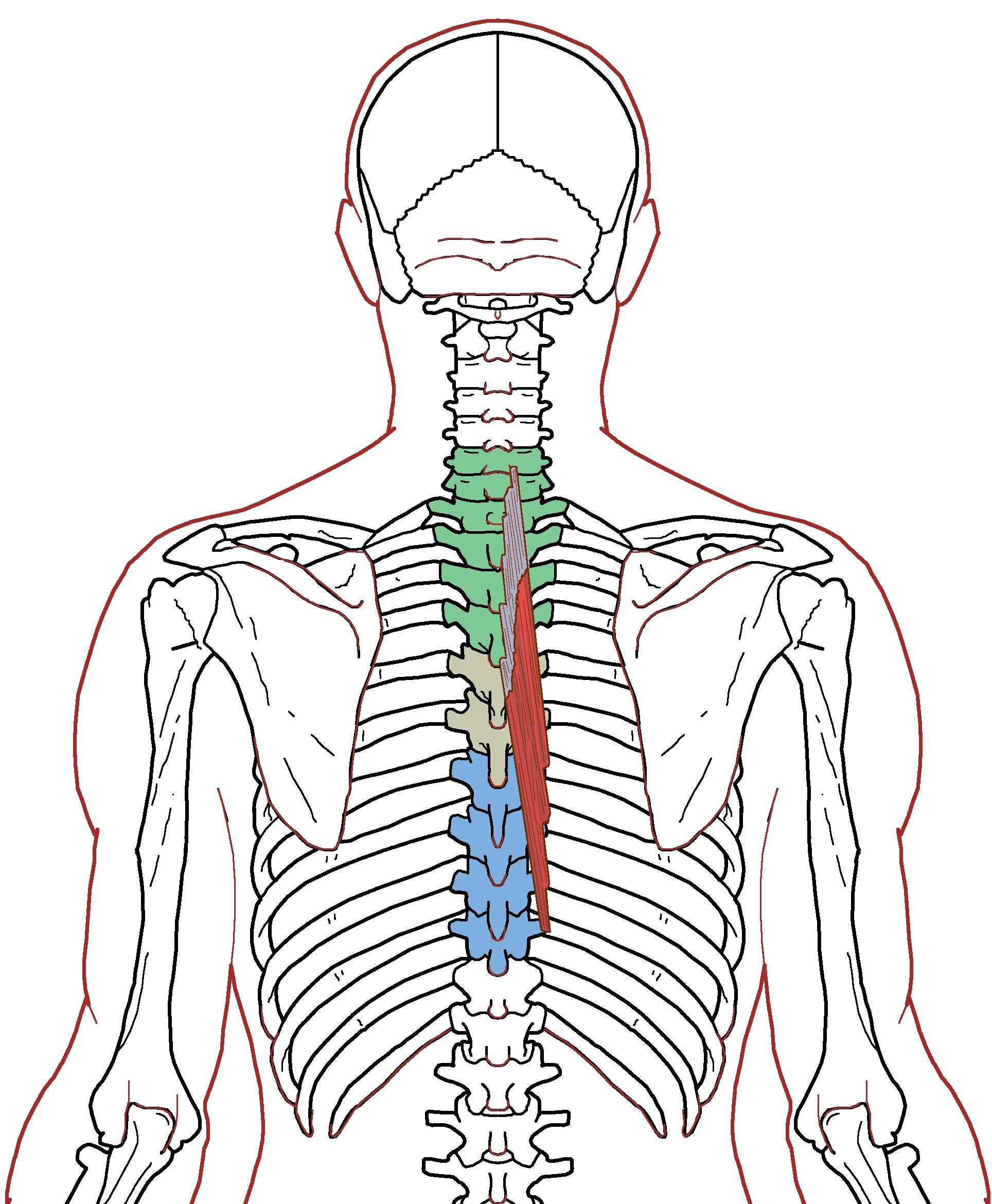 Semispinalis Thoracis Functional Anatomy Anatomy Muscles And