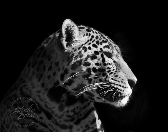 Stunning and fierce Jaguar in Black and White! | Awesome ...