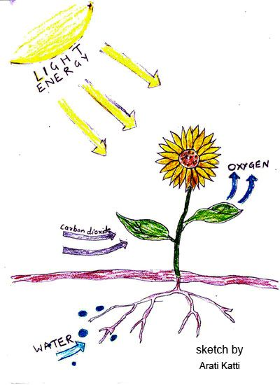 Photosynthesis leaves craft project for 6th grade plant unit. The ...