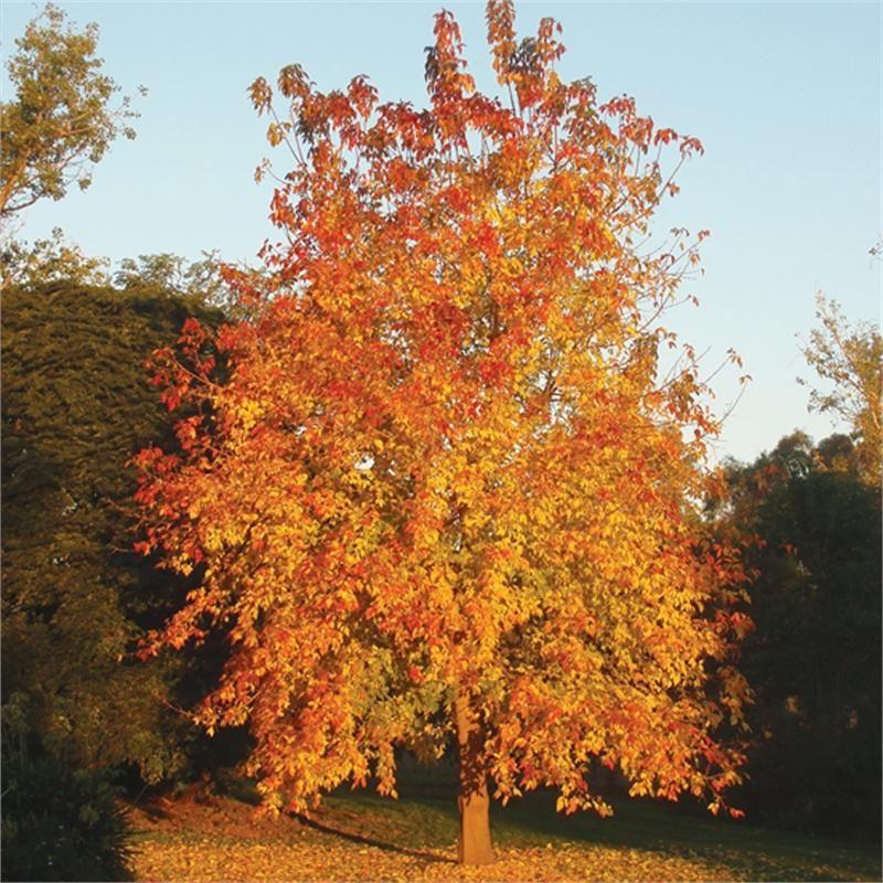 Acer Negundo Box Elder Sensation Maple Tree Flowers
