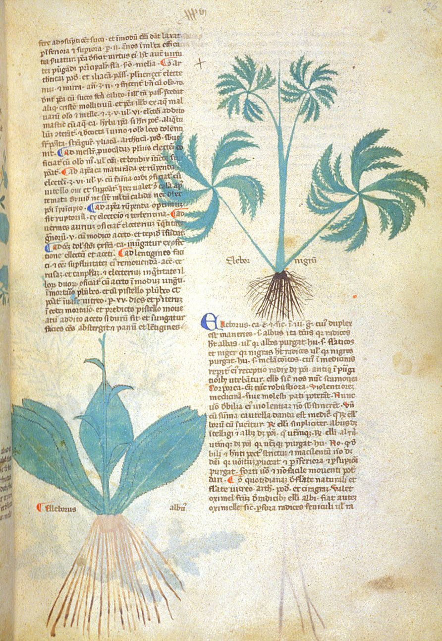 Alchemical tonics & herbs, all of the classical and medieval herbals testify to its toxic qualities.British Library MS. Egerton 747, Salernitan Herbal c. 1280-1310