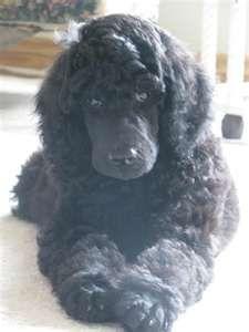 Black Standard Pup Ooooooo So Sweet Black Standard Poodle
