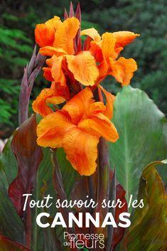 Le canna est une superbe plante vivace à floraison rouge ...