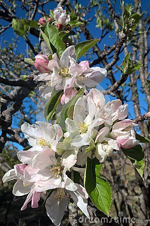 Apple Trees Grow Well In Oklahoma Soil They Are Low Maintenance With Insects The Main Concern And Pesky Little Cr Apple Tree Blossoms Growing Tree Peach Trees