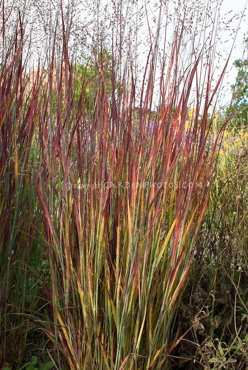 Panicum virgatum 39 heiliger hain 39 in autumn fall foliage for Ornamental grass with pink flowers
