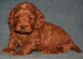 Pictures Of Cockapoo Puppies Cockapoo Puppies Colors Of