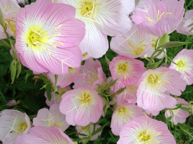 Pink evening primrose opens up showy pink and white blooms in late 15 night blooming flowers pink evening primrose opens up showy pink and white blooms in late afternoon pinkladies are hardy vigorous spreaders that also mightylinksfo