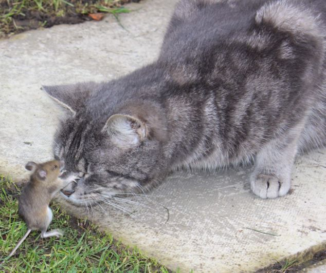 The Real Life Tom And Jerry Captured Mouse Stands His Ground And Hits Cat Back In 10 Minute Battle Before Escaping Chats Adorables Animaux Adorables Animaux