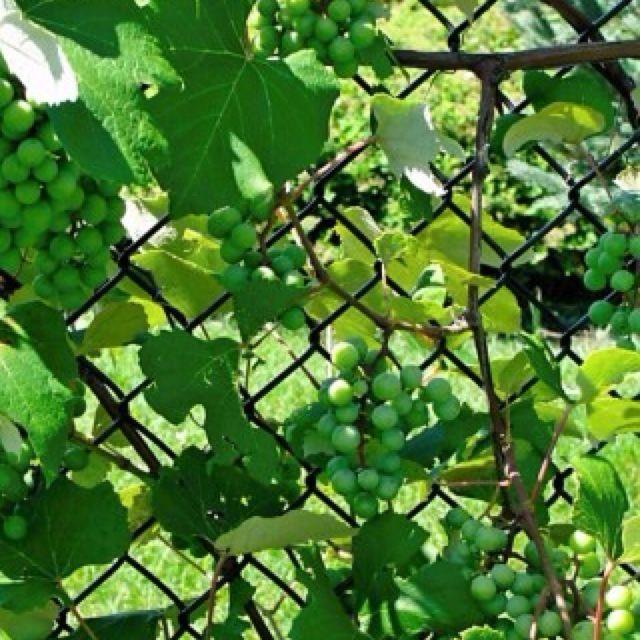 Backyard Grape Vine- We Loved To Play Under The Grape Vine