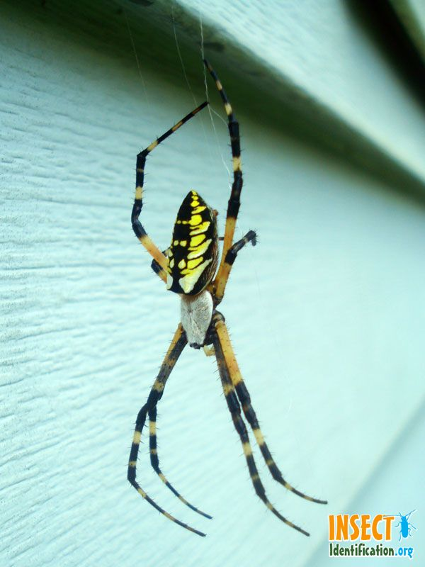 Don\'t kill these intimidating looking spiders. They are great for ...