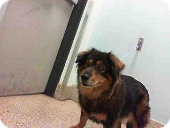 Urgent Senior Border Collie Dog For Adoption In Miami Florida Angela Miami Dade Animal Services With Images Pets Dog Adoption Pet Life