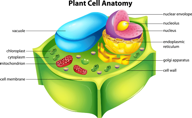 Plant cell anatomy   Plant cell model, Cell model, Plant ...