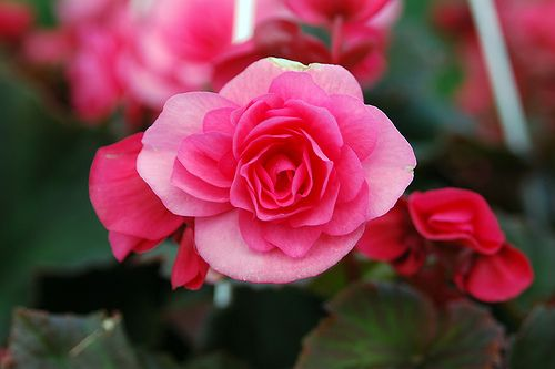 Begonia Flower Pictures Meanings Flowers Different Types Of Seeds Organic Plants