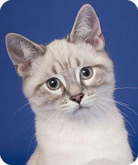 Chicago Il Siamese Meet Rocky A Kitten For Adoption Http Www Adoptapet Com Pet 13683188 Chicago Illinois Kitten Cat Adoption Pets Kitten Adoption