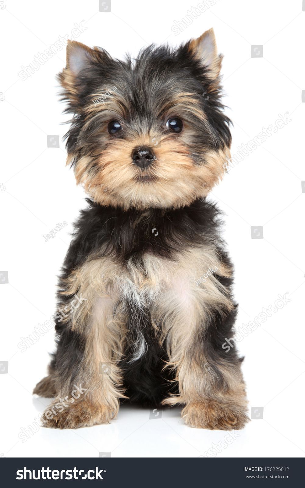 Yorkshire Terrier Puppy 2 5 Month Portrait On White
