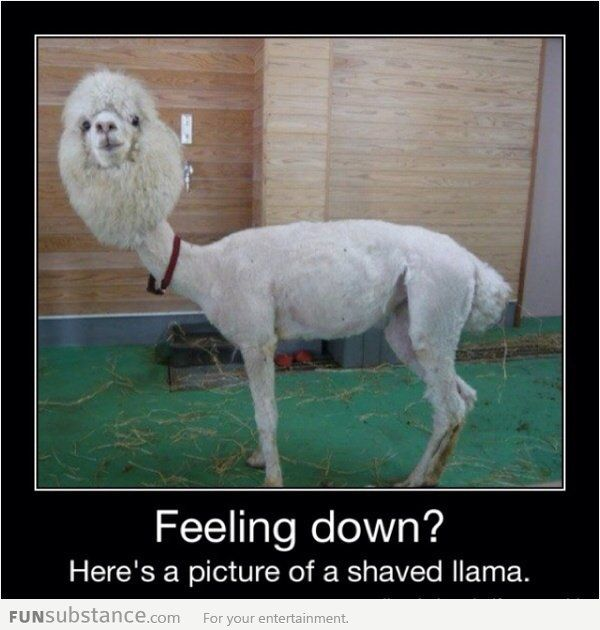 I Hope You Feel Better Funsubstance Funny Captions Shaved Llama Bones Funny