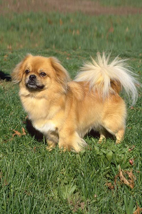 Tibetan Spaniel Dog Breed Information Akc breeds, Breeds