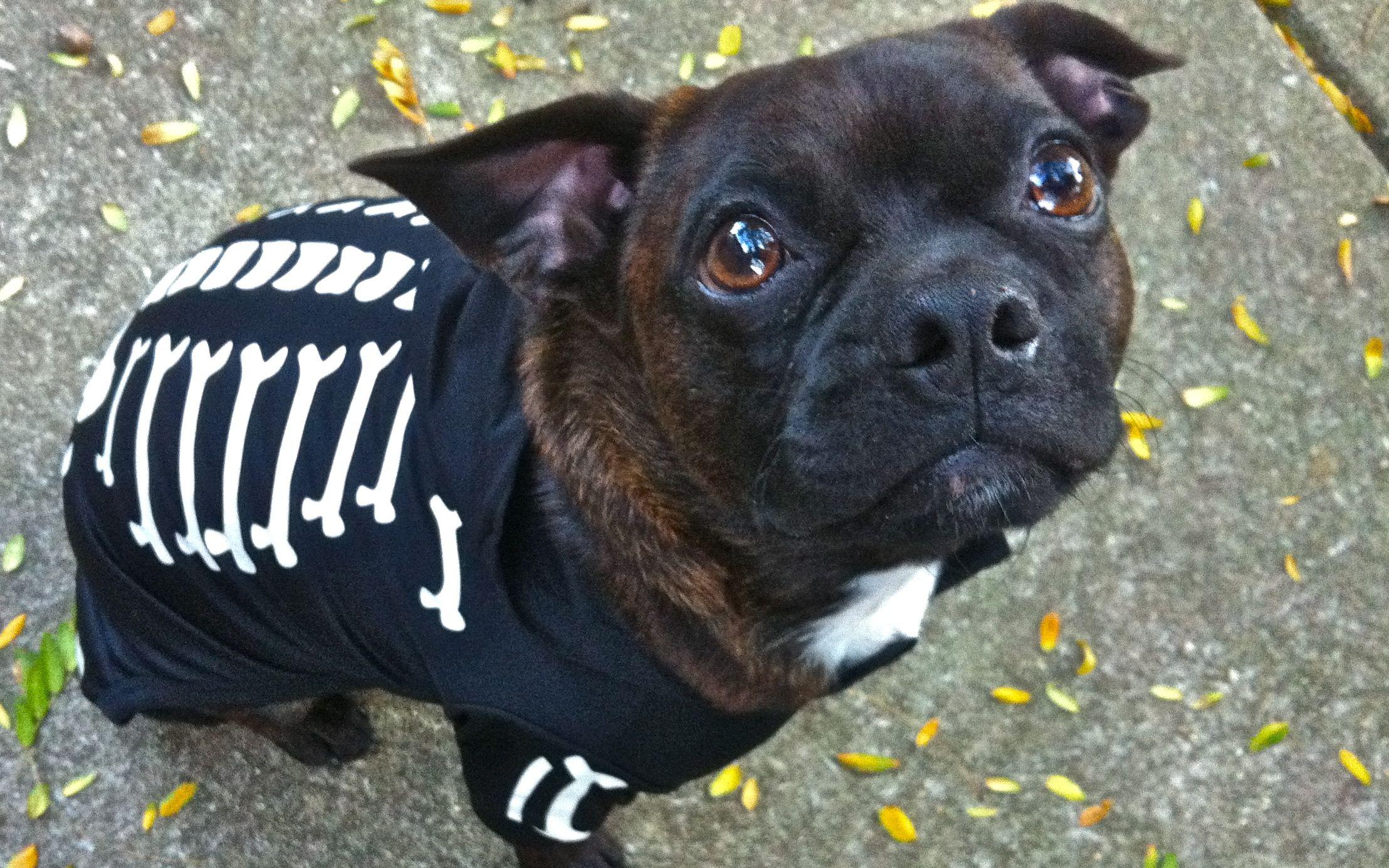My baby Bugg Iggy Boston terrier pug, Pug mix