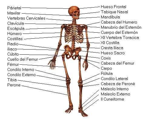 Esqueleto Humano Los huesos del cuerpo humano Lamina Descargar ...