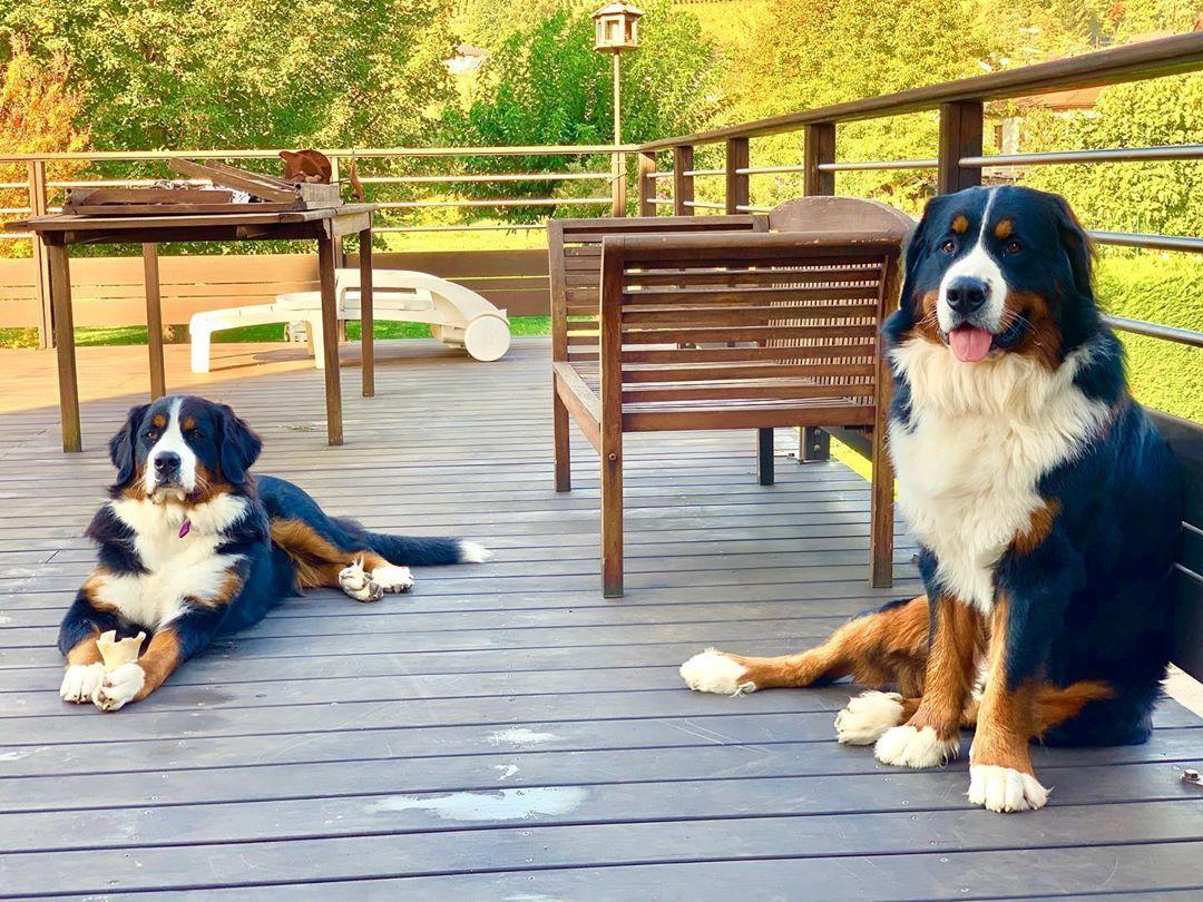 Bernese mountain dog puppy for sale near me raising a