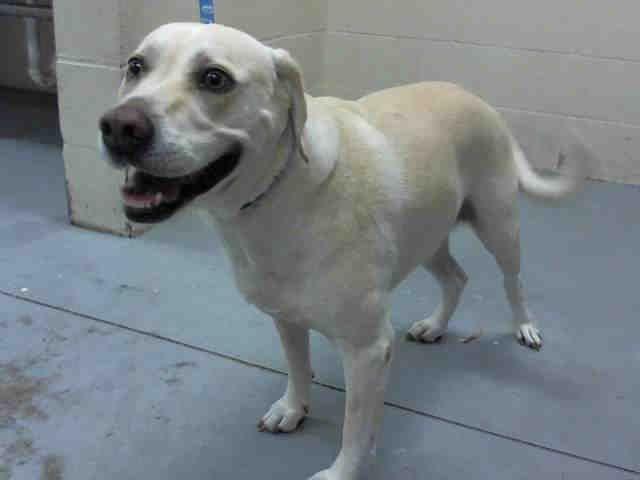 Labrador Retriever Dog For Adoption In Conroe Tx Adn 466521 On Puppyfinder Com Gender Male Age Seni Dog Adoption Labrador Retriever Dog Labrador Retriever