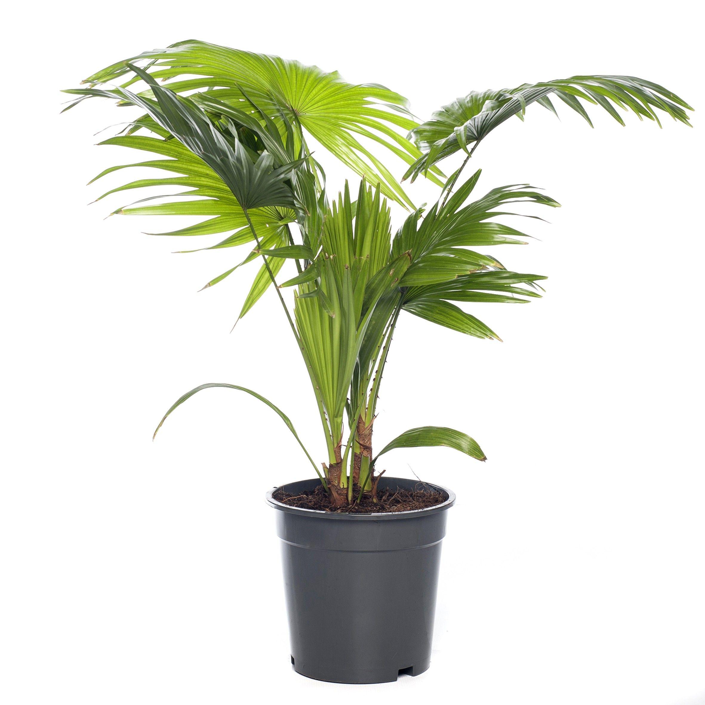 Waaierpalm+(Livistona+Rotundifolia)+D+17+Cm
