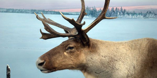 Stop Protecting Big Business Start Protecting CanadaS Caribou