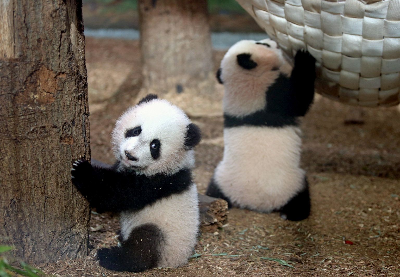 Baby Panda Con Immagini
