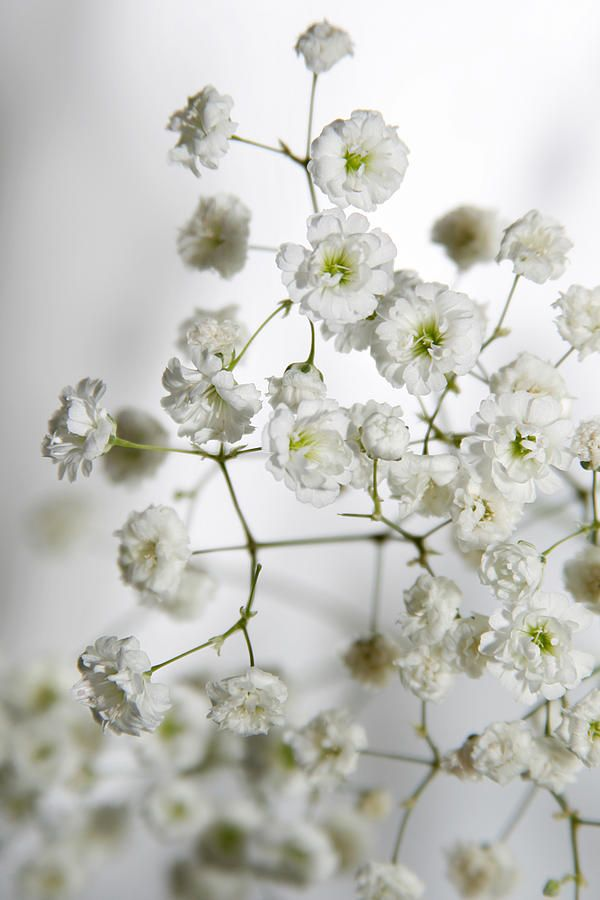 Baby Breath Flowers By Masha Batkova Flower Aesthetic Babys Breath Flowers Babys Breath