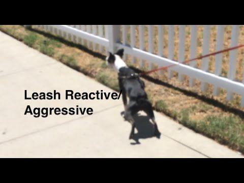 Leash Aggression Dog Training Part 1 Youtube Aggressive Dog