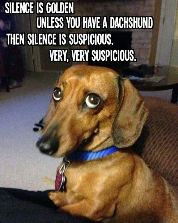 Funny Dachshund Dog Meme Dachshund Memes Weenie Dogs