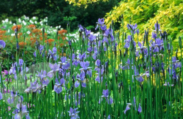 Iris Sibirica Perry S Blue Iris Plants Japanese Iris