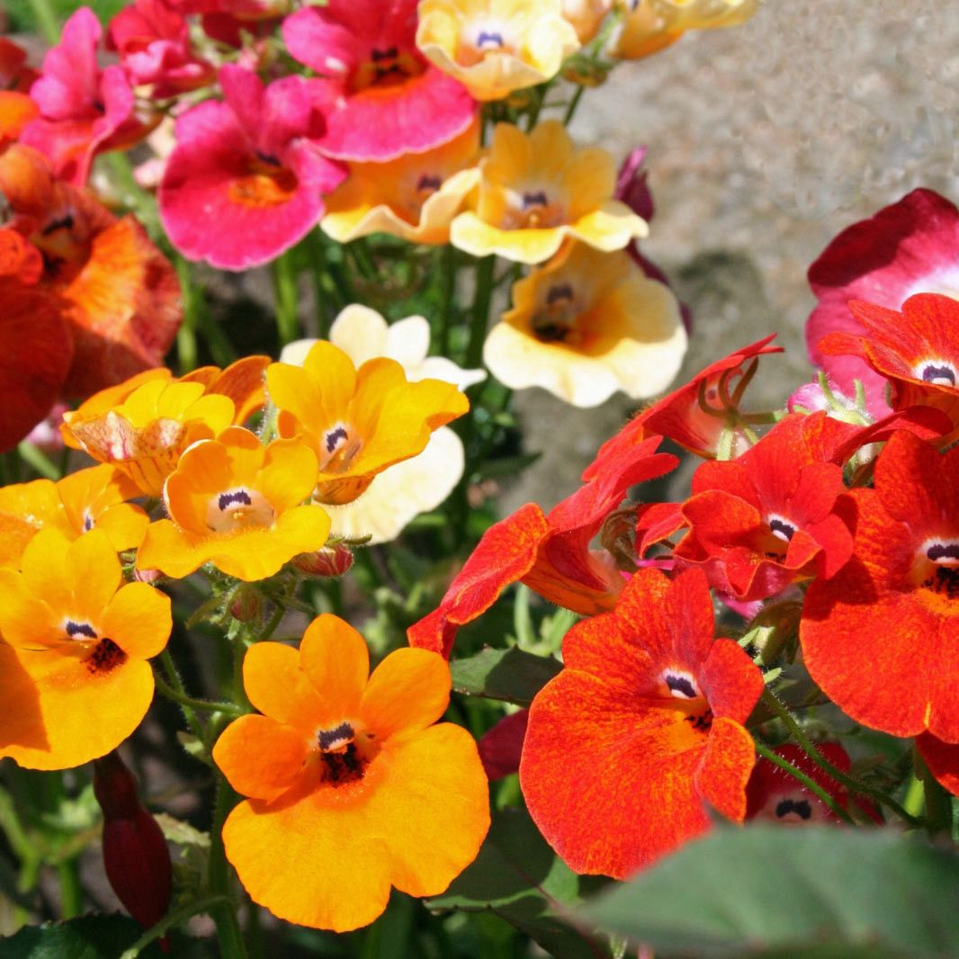 Nemesia 'Carnival MIX' Flower Garden 125 Seeds eBay