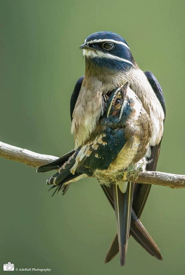 Whiskered Treeswift (Hemiprocne comata) with chick by Ade Hall photography
