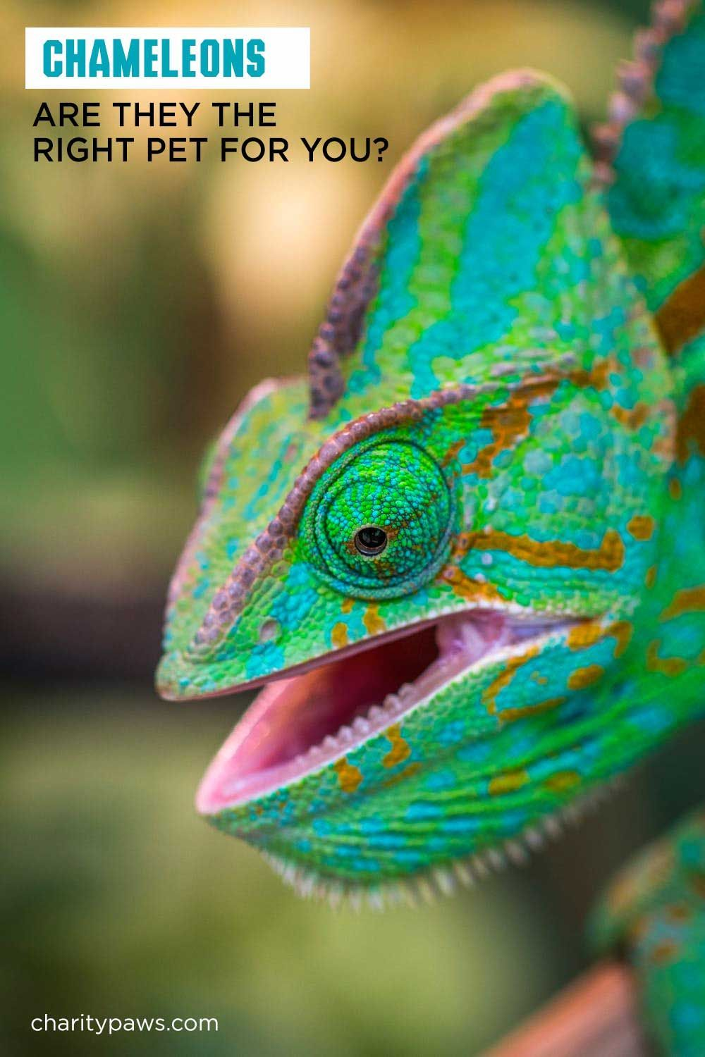 Wondering If A Chameleon Is A Good Pet? It Depends On You