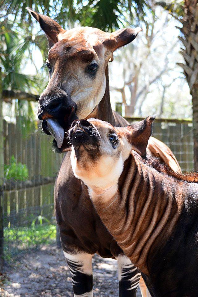 OKAPI ADDED TO IUCN'S ENDANGERED SPECIES LIST Okapi