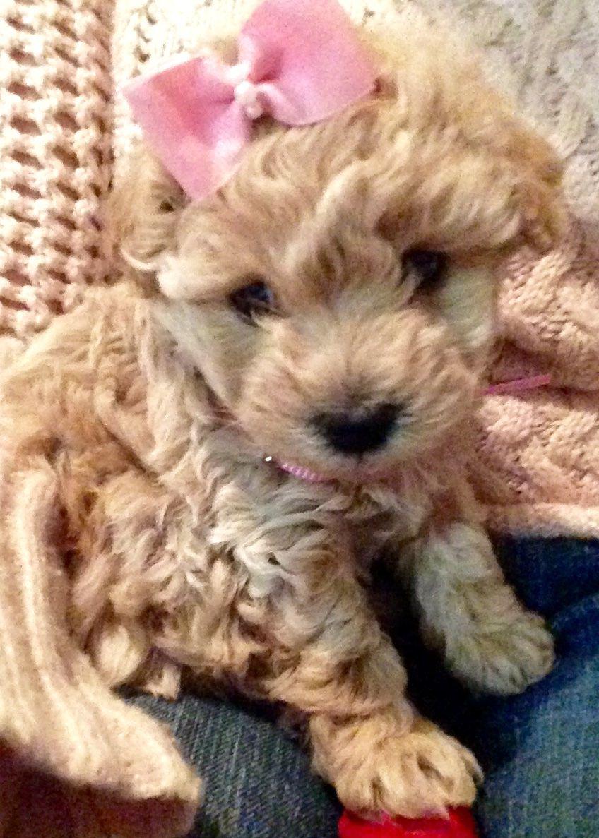 Westie Poodle Hybrid Pudel Hunde Mischlinge Hunde