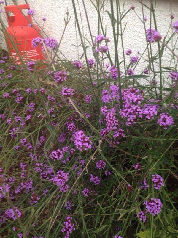 Verbena Bonariensis Verbena Bonariensis The Tall Stems With Purple Flowers Is Verbena Bonariensis It G Small Purple Flowers Purple Flowers Attracting Bees