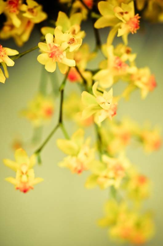 Mingle flower photography dreamy yellow orchid by joystclaire, $25.00