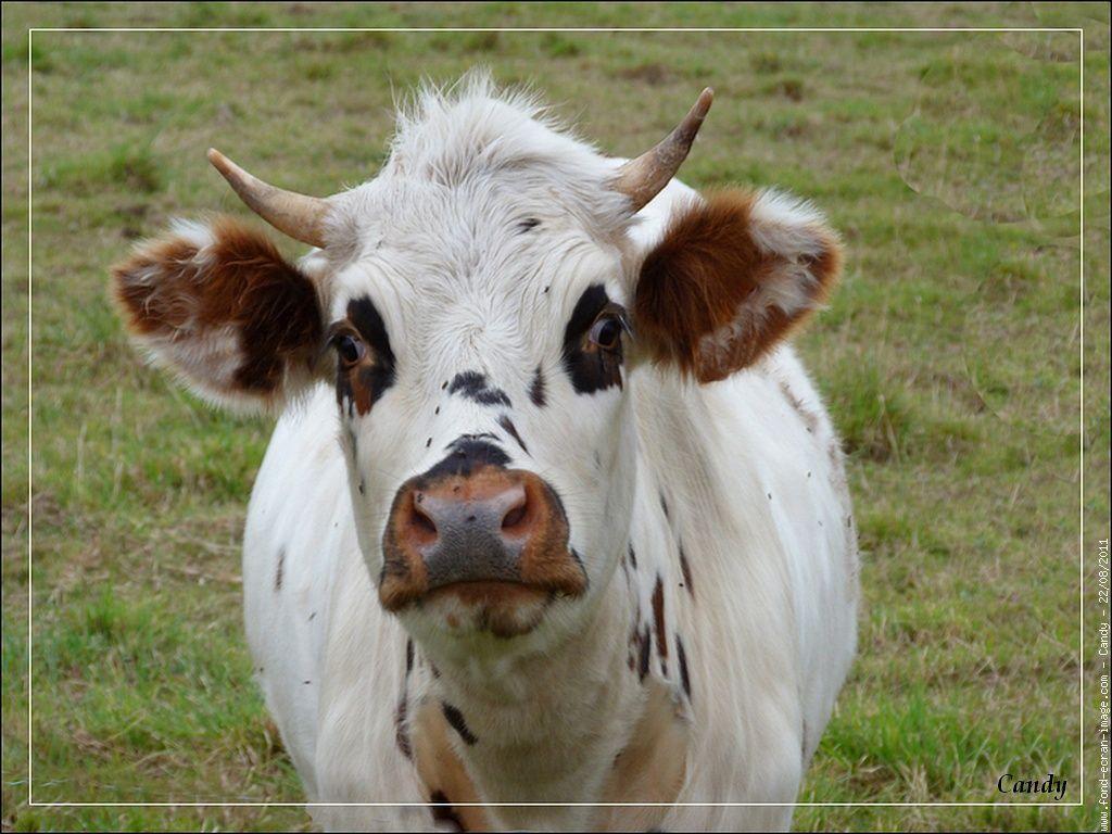 Dessin tete de vache colorier les enfants - Vache normande dessin ...