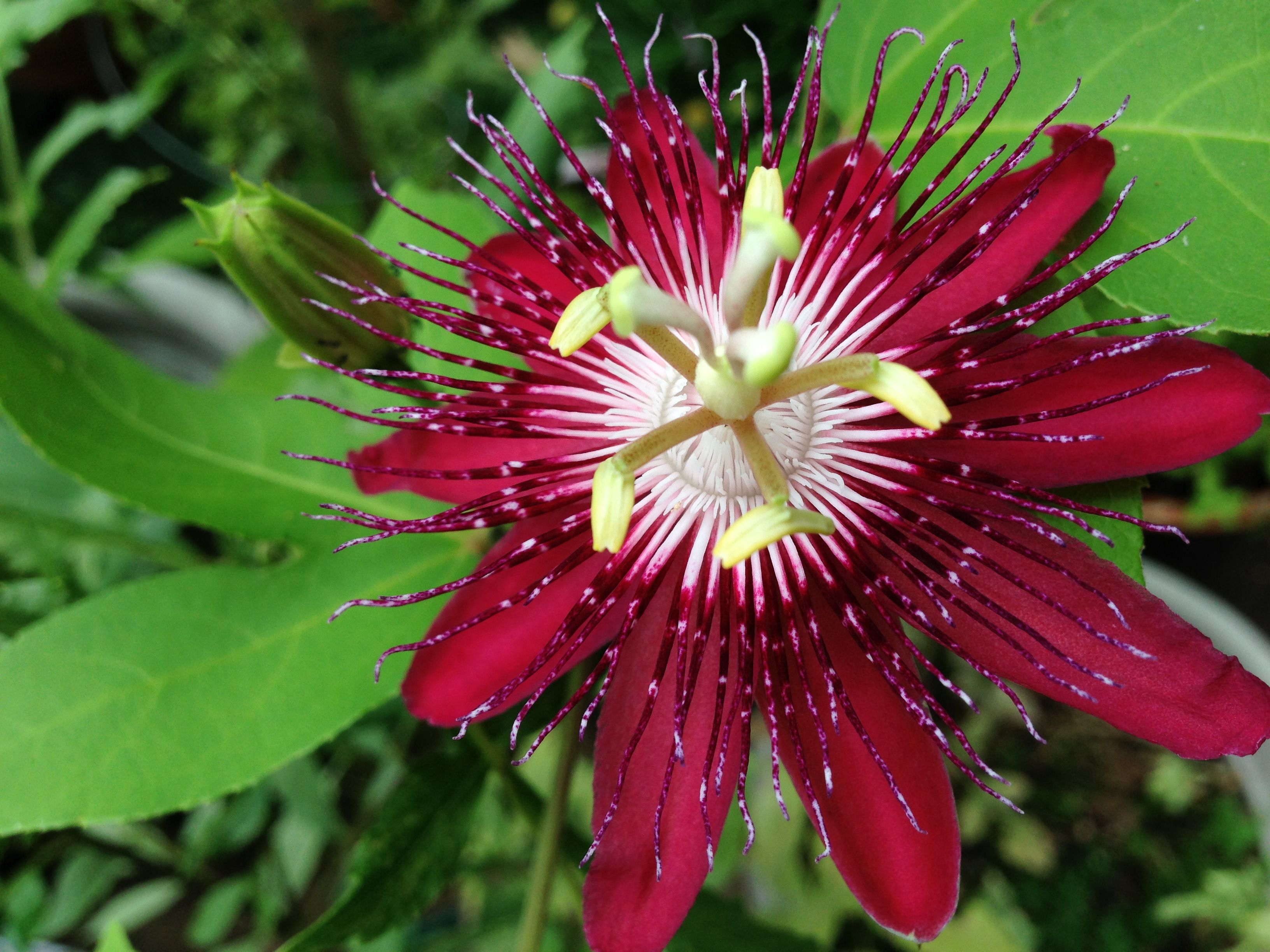 Red Passion Flower Used In Wedding Bouquet In Florida Pretty