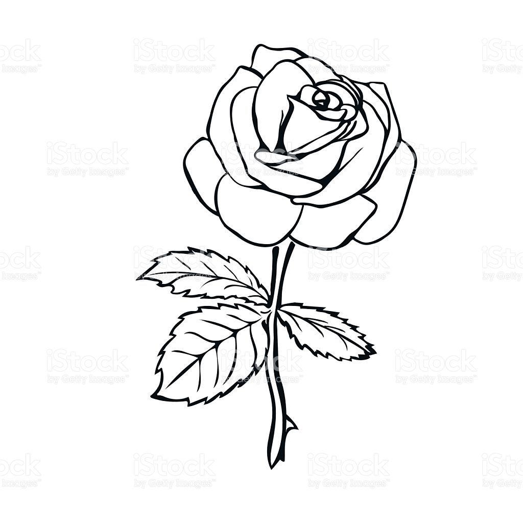 Rose sketch. Black outline on white background. Vector illustration.   Skizzierung, Rosen skizze ...