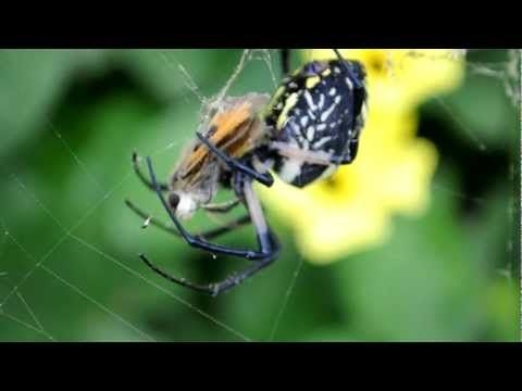 Butterfly Predators Video Of Spider Eating Butterfly Spider