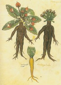 """Year: Between 1406 and 1430  Originally appeared in: Manuscript made in Constantinople  Now appears in: The Naming of Names by Anna Pavord  Feared for its deadly shriek when pulled from the ground, the mandrake was thought to take male or female form. According to an 11th-century Anglo-Saxon manuscript, the mandrake also shined at night like a lamp, and would flee from """"an unclean man."""""""