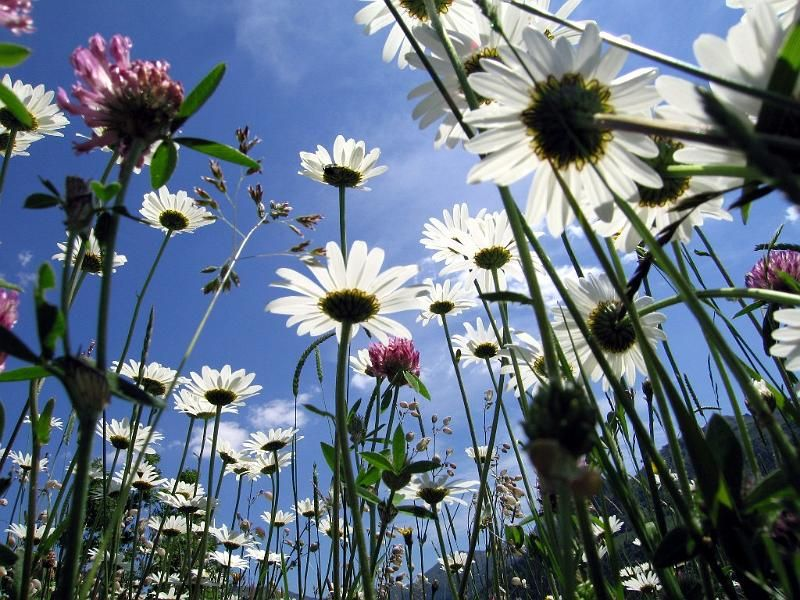 Marguerites in the Auvergne France