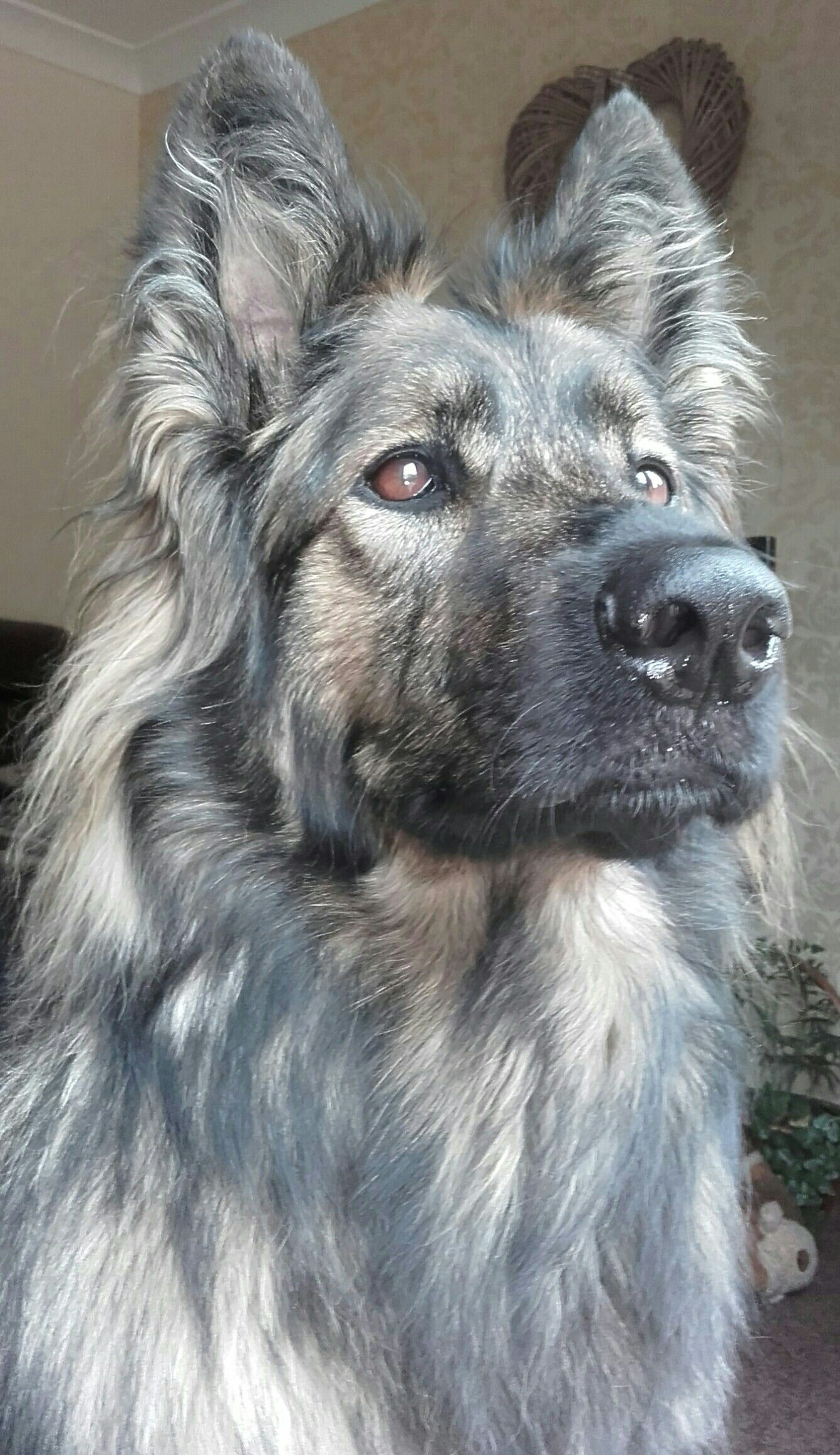 Luna Gsd 4 Years Old Beautiful Dogs Smartest Dog Breeds