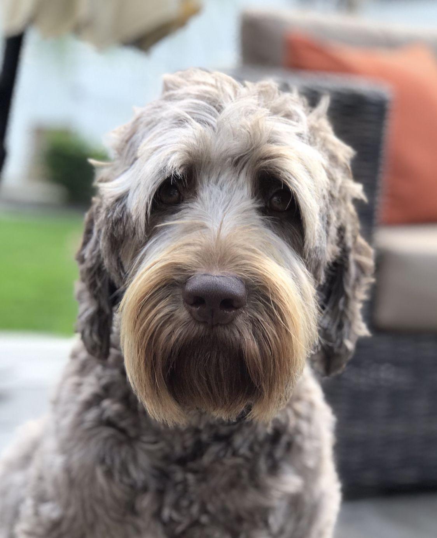 Australian Labradoodle Puppies For Sale Now Ideas