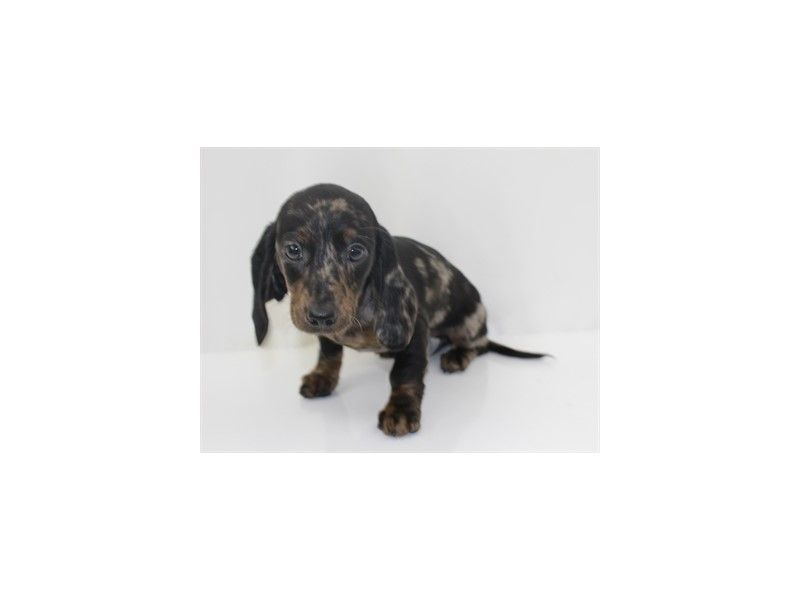 Checkout This Cute Dachshund 895 At Petland Jacksonville Fl