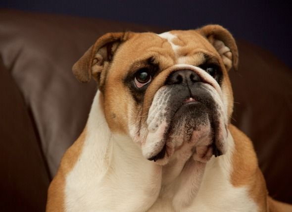 Breathing Problem In Short Nose Breed Dogs Dog Breeds Dog