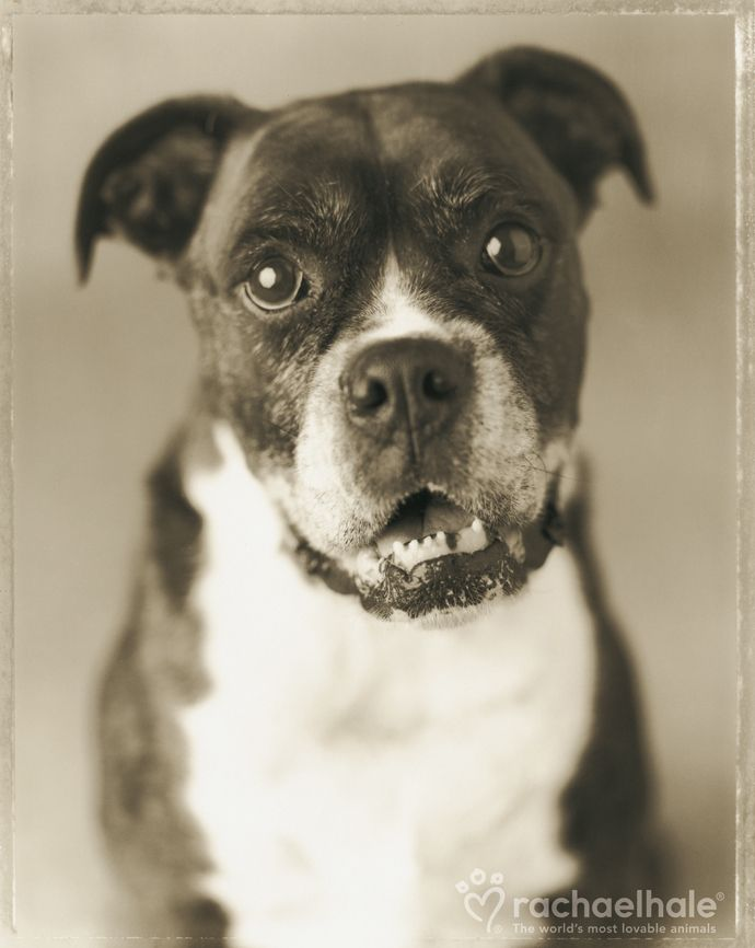 Dudley (Boxer) Dudley, in an old dog way, succeeds to